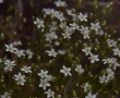 Population of Minuartia growing as a result of the project interventions
